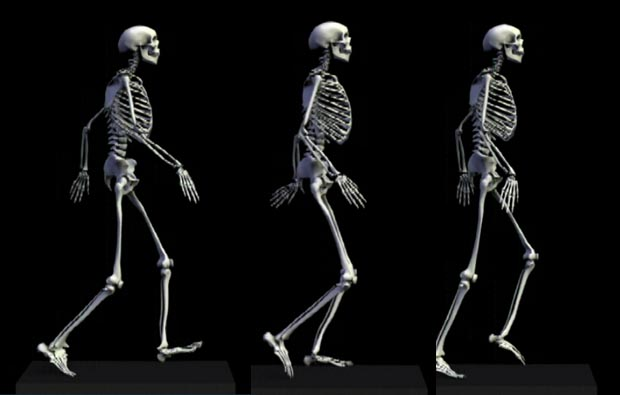 体骨骼动态三维模拟